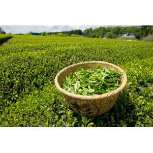 Свежий и ароматный зеленый и белый чай урожая 2018 (набор из 6 сортов)