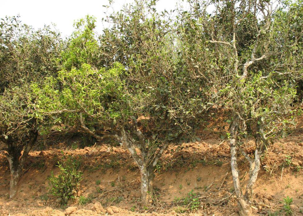 пуэр - плантационные деревья