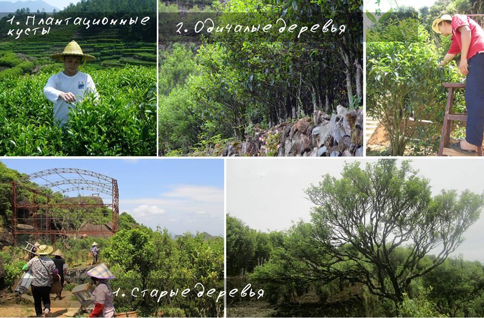 Чаочжоу ча: тип чайных деревьев
