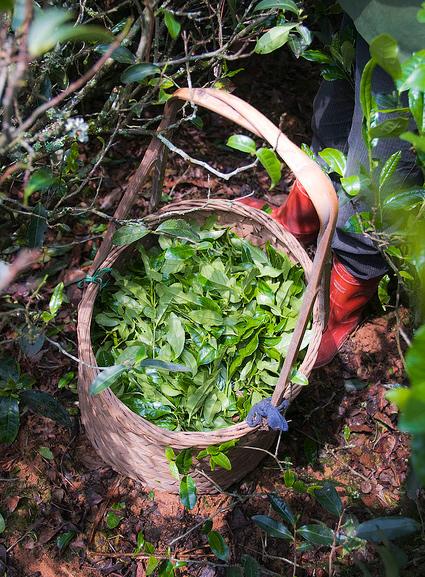 Вот в таких корзинах носят листья чая после сбора