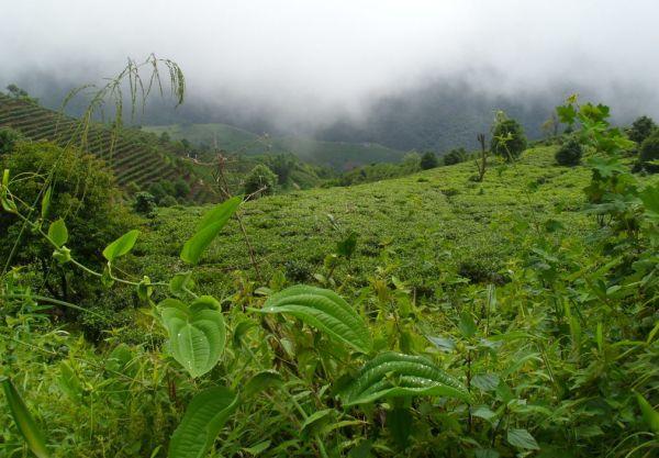чайные плантации тай ди ча в регионе Бу Лан Шань
