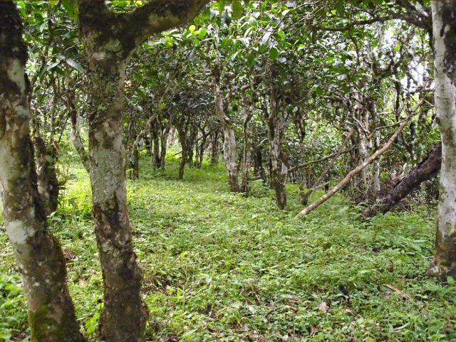 Вокруг Лао Бань Чжан много чайных плантаций