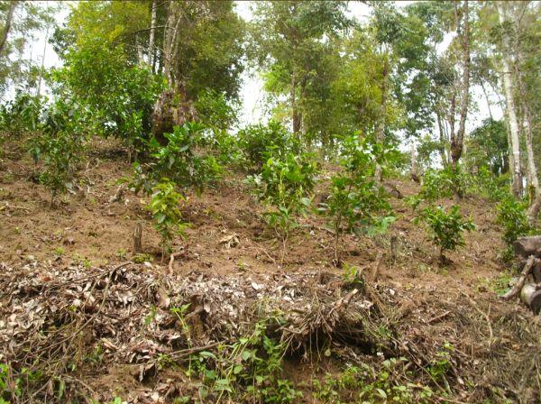 рост цен толкает фермеров сажать новые и новые деревья