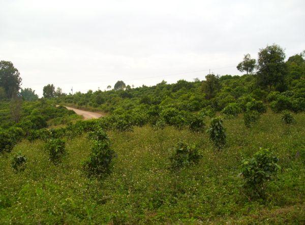 плантации тай ди ча