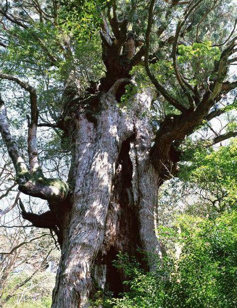 Пуэр - дикое дерево