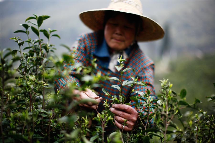 Сбор чая весной