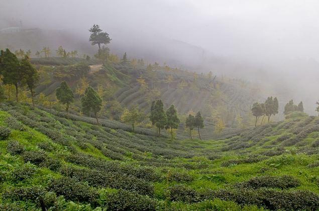 Чайные плантации а Алишань