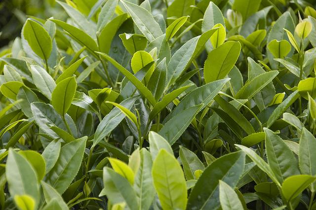 листья да хун пао