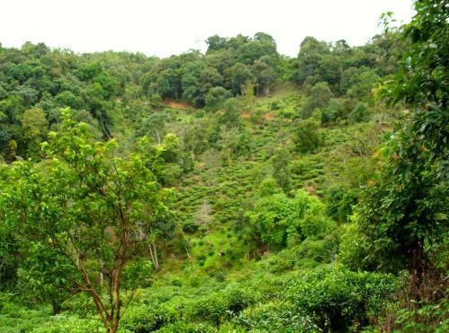 Высота, на которой растут чайные деревья, важна не только для пуэра, но и для любого другого чая