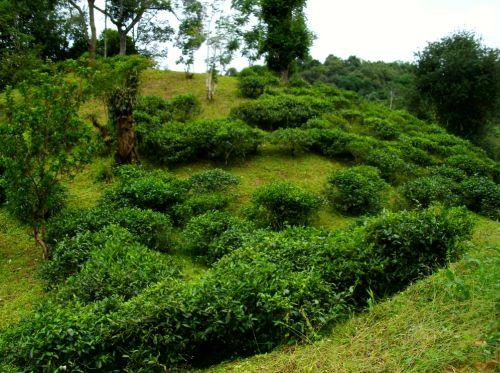 В районе деревни Ма Хэй Много кустовой разновидности чайных деревьев.